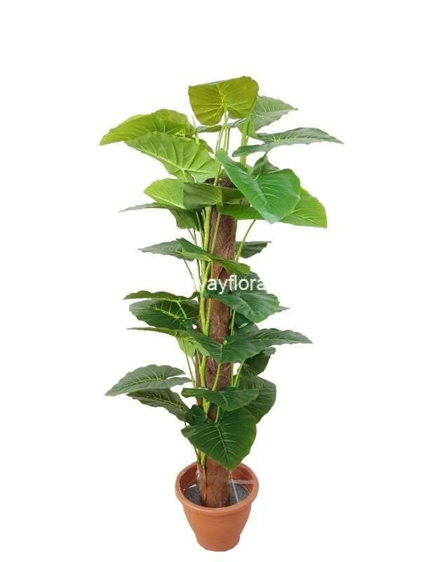 Philodendron 'Magnificum' ~4 Feet
