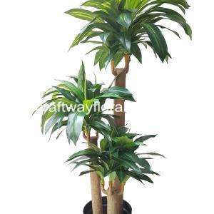 Dracaena Fragrans plant comes with multiple stems. They have foliage crowns growing from the tip of their branches.