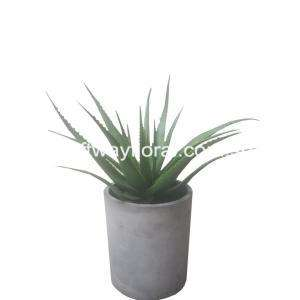 Aloe vera is a stemless plant growing to 60–100 cm tall. The leaves are thick and fleshy, green to grey-green, with teeth-like edges at the sides.