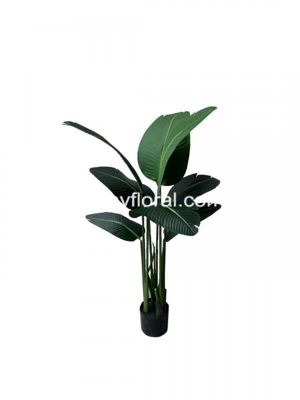 The Birds of Paradise foliage resembles small banana leaves with long petioles. The leaves on the Birds of Paradise plant are arranged strictly in two ranks to form a fan-like crown of evergreen foliage, thick, waxy, and glossy green, making it a very attractive ornamental plant.