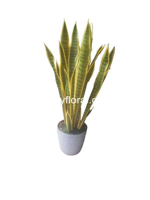Commonly known as mother-in-law-tongue or snake plant.