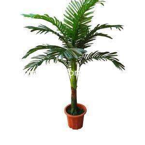 Queen Palm is an attractive palm tree that is a lovely addition to bring the feel of the tropics to your home or office. It has a thick, fairly smooth trunk that looks like a stout. It has vibrantly glossy leaf blades like feathery plumes, giving a majestic appearance.