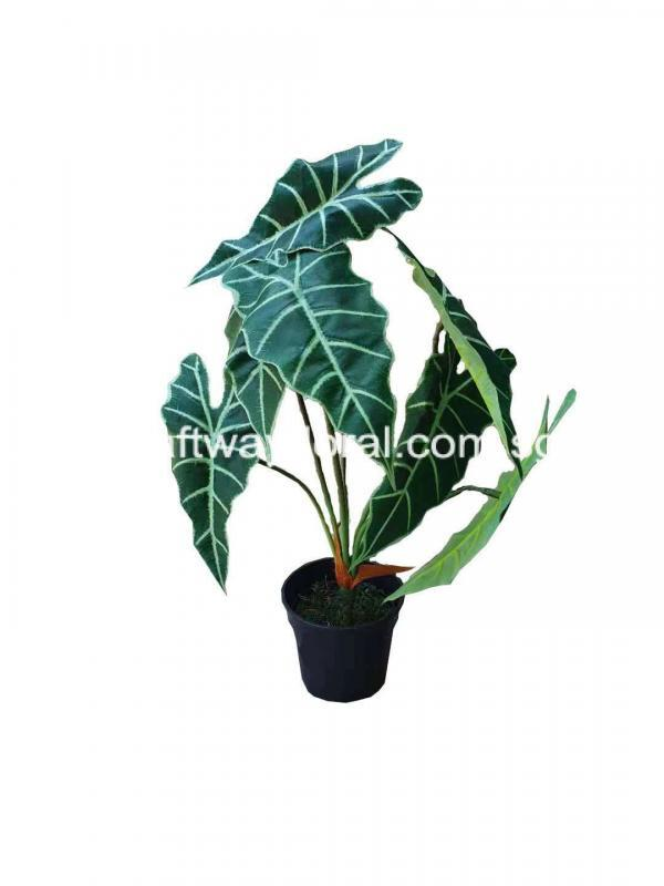 Picture of Alocasia Amazonica with dark green and distinct white veins.