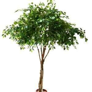 Ficus Benjamina is also often known as weeping fig,benjamin fig or ficus tree. It has nimble, draping twigs and gleaming leaves, that look like an egg-shaped with a sharp tip.
