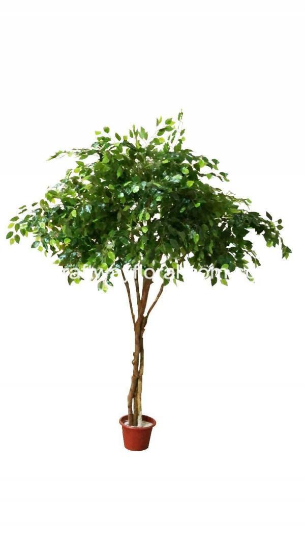 Ficus Benjamina is also often known as weeping fig, benjamin fig or ficus tree. It has nimble, draping twigs and gleaming leaves, that look like an egg-shaped with a sharp tip.