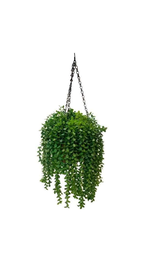 The Dischidia features trailing vines that flow abundantly down from the pot with round green leaves.