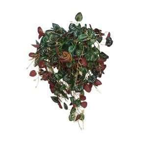 The Peperomia has leaves that are kind of oval in shape and show an exceptional blend of green and silver stripes that resemble the patterns found on watermelons rinds.