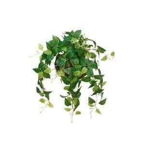 The peperomia has glamorous silvery tint heart-shaped leaves peeking through the green.