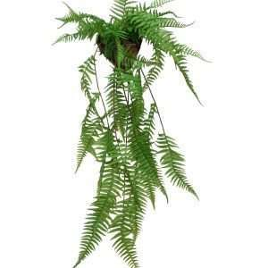 The Alpine Wood fern is an evergreen fern that has lance-shaped,arching fronds.