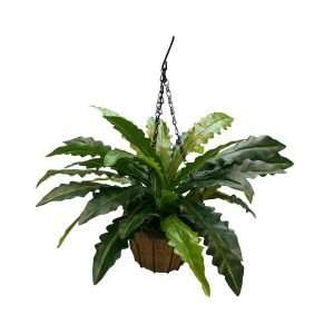 The Bird Nest Fern has rosette of large, shiny light and dark green fronds. The leaves are also smooth, waxy-edged bladelike with crinky edges.