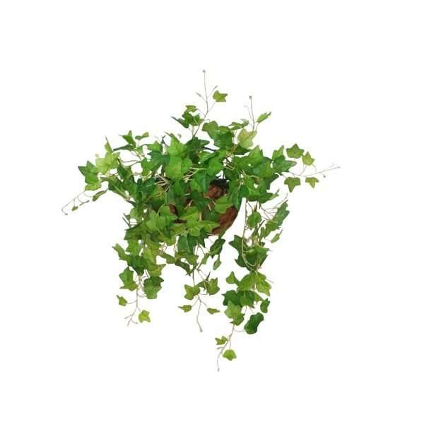 The ivy is a greenish-yellow 3-lobed leaves is an interesting foliage that has a delicate and stylish appeal. It is a prolific trailing plant which makes it ideal for use in hanging baskets or high beds.