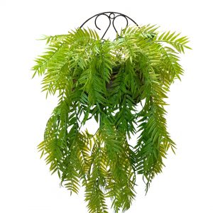 The Licorice Fern has fronds that are once-divided and triangular in shape, with finely toothed margins and pointed leaflets.