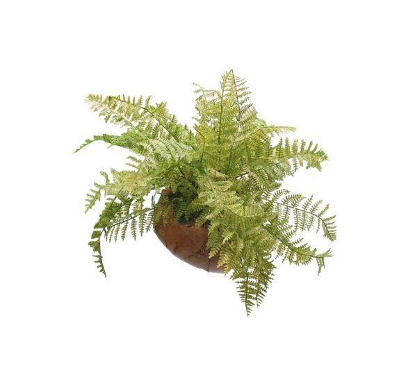 The Male Fern has elegantly arching, attractive fronds with a crisped texture that lend a peaceful feeling to any setting.